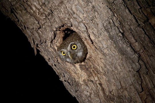 Pearl-spotted owlet, Umlani Bushcamp