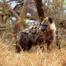Spotted Hyena. Photo by Morné Hamlyn (Umlani Bushcamp)