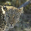 Leopard, Umlani Bushcamp, Timbavati Private Nature Reserve, Kruger National Park