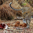 Leopard and cub with kill. Photo by Morné Hamlyn (Umlani Bushcamp)