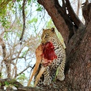 Leopards with kill. Photo by Morné Hamlyn (Umlani Bushcamp)