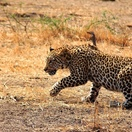 Leopard crawl... Photo by Morné Hamlyn (Umlani Bushcamp)