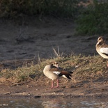 Egyption geese, Umlani Bushcamp