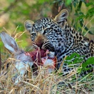 Leopard with kill. Photo by Morné Hamlyn (Umlani Bushcamp)