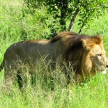 Large male lion. Photo by guest, Brian Sarre.