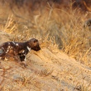 Wild dog puppy. Photo by Morné Hamlyn (Umlani Bushcamp)