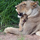 Lioness and cub, Umlani Bushcamp by Heiko Wolf