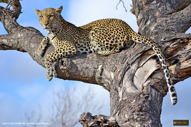 leopard at Umlani Bush Camp