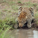 Leopard at a watering hole, Umlani Bushcamp by Heiko Wolf