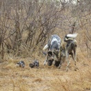 African Wild dogs at Umlani. Photo by Morné Hamlyn (Umlani Bushcamp)
