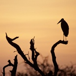 Marabou stork at sunset, Umlani Bushcamp