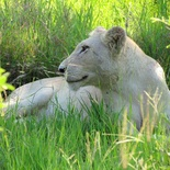 White Lioness. Photo by guest, Brian Sarre.