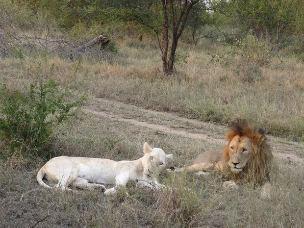White lions Timbavati, Umlani Bush Camp safariactivities, wildlife sightings Timbavati Game reserve, lions, South Africa