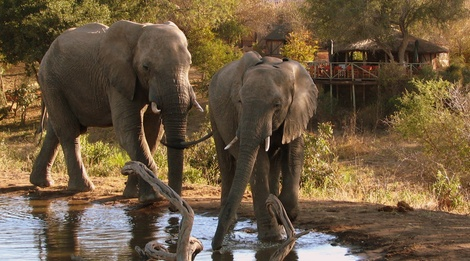 Elephants, Umlani Bushcamp, Timbavati Private Nature Reserve, Kruger National Park by Lisa Scriven
