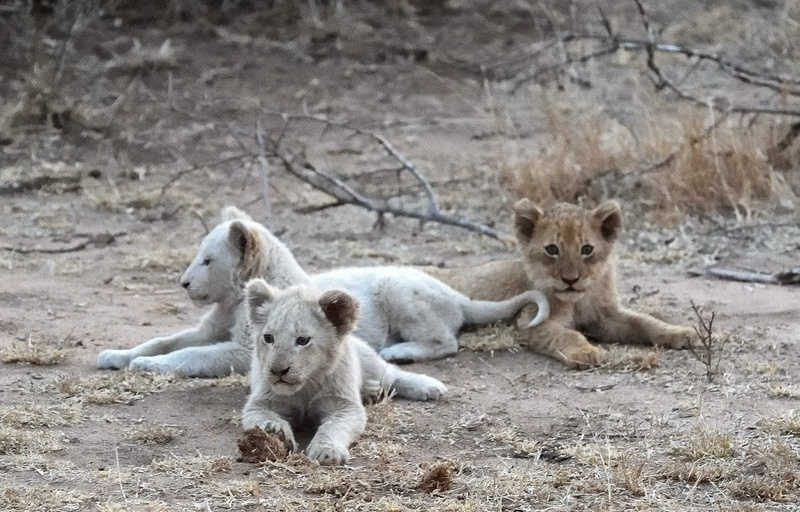 White lions of the Timbavati Cubs