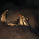 Red-billed oxpeckers, Umlani Bushcamp