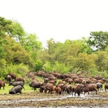 Loads of Cape Buffalo. Photo by Morné Hamlyn (Umlani Bushcamp)