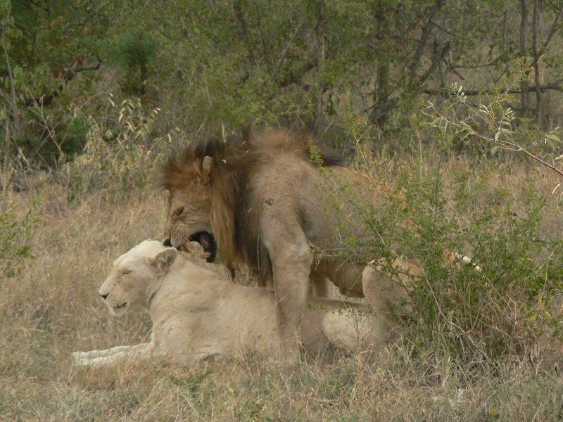 White Lion Romance. Photo credit: Annie Adam.