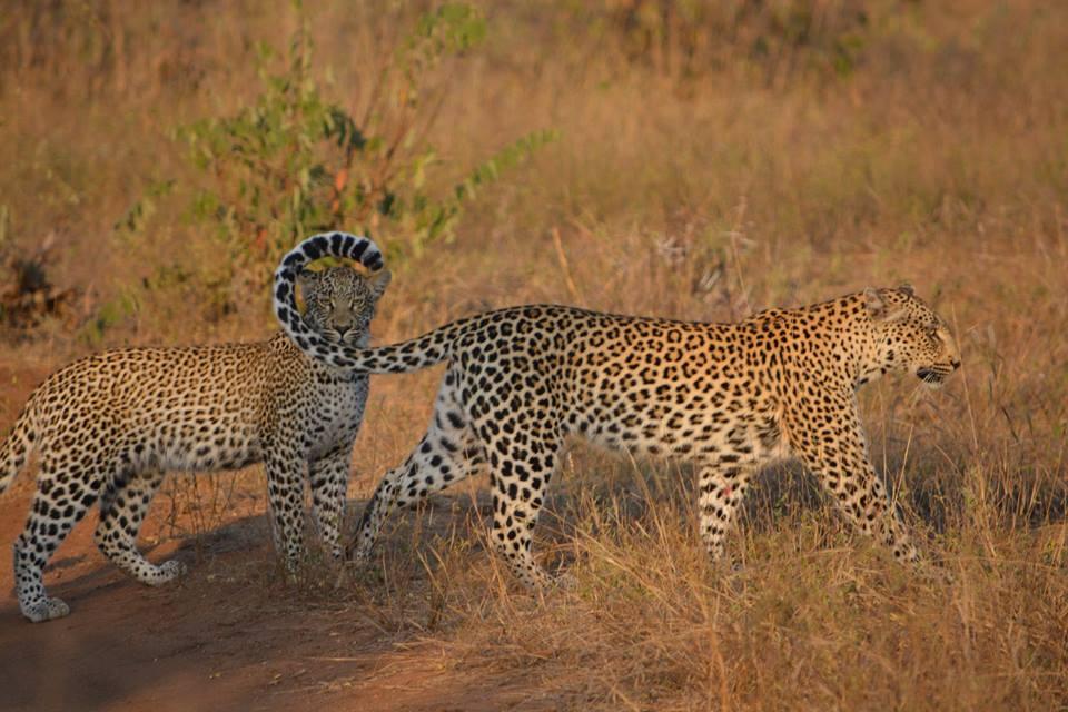 Posing Leopards. Photo credit: Kaira de Kock