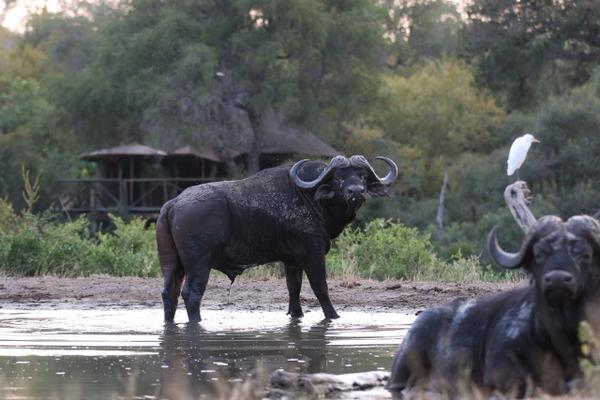 Buffalo Stare Down. Photo credit: Mike Lentz